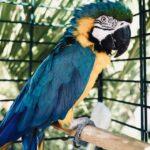 papuga w klatce